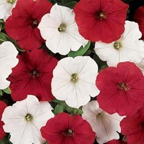 ~ Easy Wave O'canada Mix Trailing Petunia 20 Pelleted Seeds