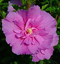 Lavender Chiffon™ Hibiscus syriacus 'Notwoodone' - Rose of Sharon-Proven Winners