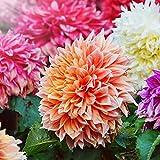 4 Colores Diferentes-Bulbos de Dalia,Venda Bulbos De Dalia,Plantas Duraderas, Plantas Cultivadas En Suelo Puro Y Hermoso, Flores Cortadas-2 Bulbs,C