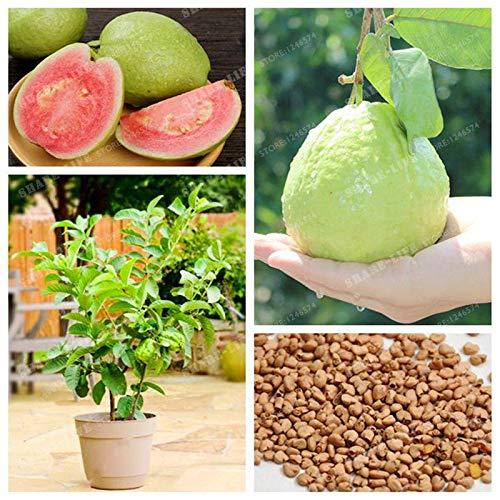 Portal Cool Guayaba orgánica de semillas de hortalizas Fruit Psidium guajava semillas de guayaba Bonsai árbol de la planta