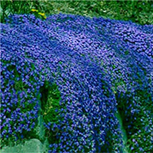 ADOLENB Seed House - 100 unids semillas de flores de tomillo rastreros semillas de plantas perennes que cubren el suelo flores de verano flores perennes Hardy para jardín y hogar