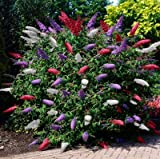 Risitar Graines - Chine Rare Arbre à papillons tricolore décorative, attire papillons insectes abeilles, Arbres et arbustes exotique Grainé fleur Plantes vivaces résistante au froid