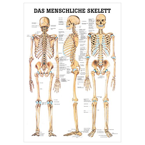Das menschliche Skelett Lehrtafel Anatomie 100x70 cm medizinische Lehrmittel