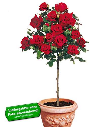 BALDUR Garten Delbard® Rosen-Stamm 'Le...