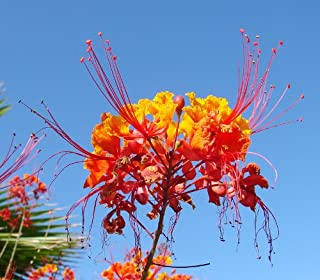 Best red mexican bird of paradise tree Reviews