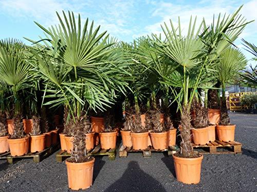 JH Grünwaren XXL Palme winterhart 160-180 cm Trachycarpus fortunei, Hanfpalme, Top-Qualität