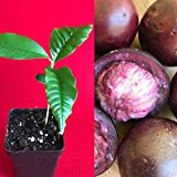 Caimito Purple Star Apple Chrysophyllum Cainito Seedling Plant Potted Fruit Tree
