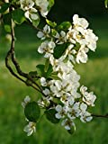 Cleveland Flowering Pear Tree - 2 Year Old