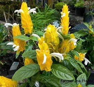 PACHYSTACHYS Lutea - Golden Shrimp Plant - 1 Live Plant - 6