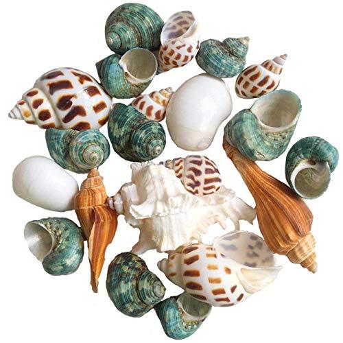 Hermit Crab Shells Turbo Shells 15+pcs Assorted Turbo Shells Opening Size 1' - 2' Handpicked Hermit Crab House
