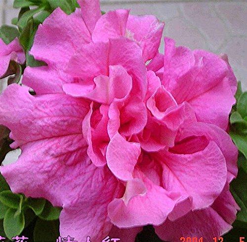 200pcs/sac Hanging Multicolor Petunia Graines Balcon Trailing Pétunia fleur en pot Bonsai plantes pour jardin Décor facile à cultiver 4