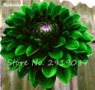 50 Pcs rares Graines Bonsai Dahlia (non Dahlia Bulbes) Mixte magnifique Fleurs chinois Balcon Plante en pot Maison et jardin 17