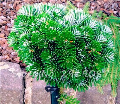 Colorado mixtes Graines de sapin Coloful Spruce Graines Picea arbre en pot Bonsai Cour Jardin Bonsai usine Pine Tree Seeds 100 Pcs 15