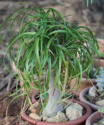 Beaucarnea recurvata (5 Semillas)