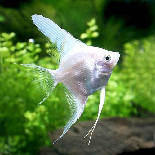 (熱帯魚)プラチナホワイト・エンゼルフィッシュ(国産ブリード)(1匹)