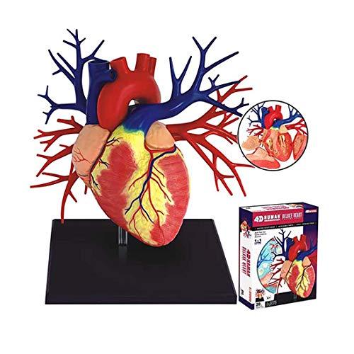 ZJM 1: 1 Modelo De Anatomía del Corazón Humano, Herramienta De Enseñanza Anatómica Anatómica Anatómica Anatómica De Órgano del Corazón Desmontado De 4D Puzzle De 20 Partes.
