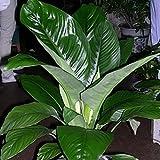 mymotto 50 Pcs Graines rares de Spathiphyllum Hardy Plante pérenne Fleur Bonsaï