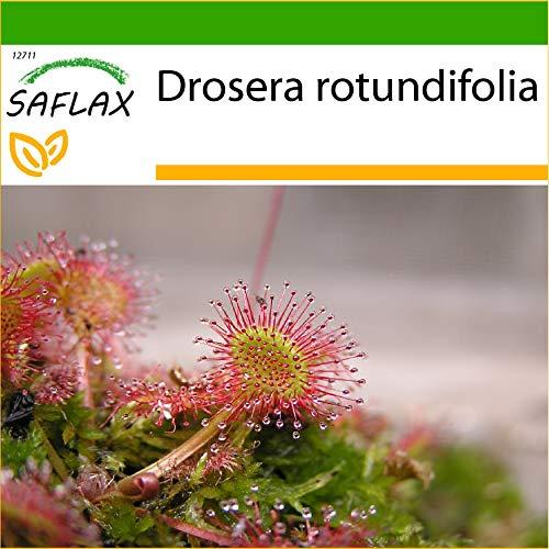 SAFLAX - Rundblättriger Sonnentau - 50 Samen - Mit keimfreiem Anzuchtsubstrat - Drosera rotundifolia