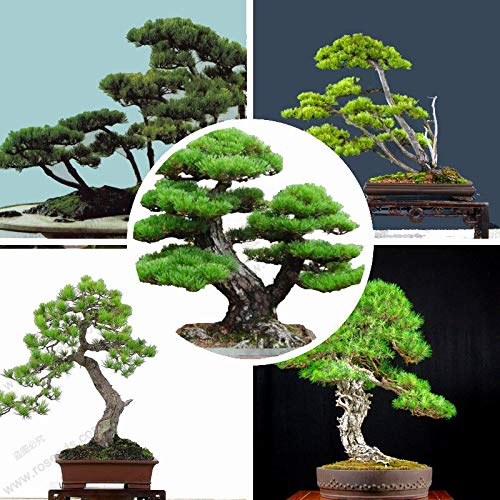 GETSO Samen-Paket: 20pcs / Bag Pine Seedevergreen Seed japanische Kiefern Indoor-Bonsai Seed Holly Blatt Kiefer
