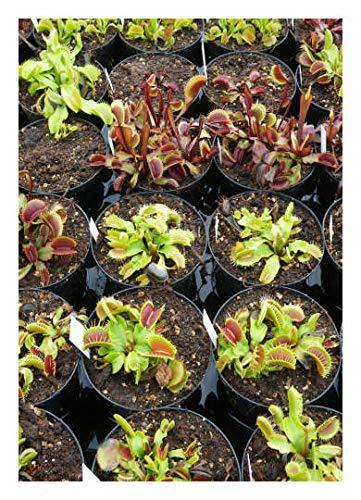 "Venus-Fliegenfalle""Mix"" - 10-15 Sorten / 50 Samen/inkl.Karnivorenerde (Dionaea muscipula)"