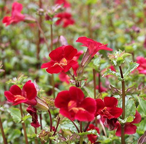 2er-Set - Mimulus cupreus 'Roter Kaiser' - Gauklerblume, rot - Wasserpflanzen Wolff