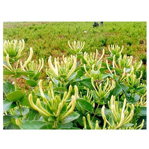 Semillas de madreselva, 20 piezas/paquete de flores ornamentales de jardinería