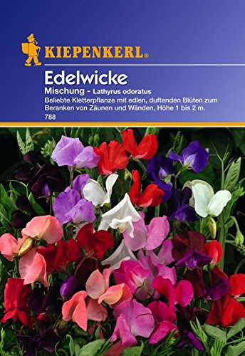 Kiepenkerl, Edelwicke, Lathyrus odoratus Farb Mischung