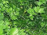 Parsley, Italian dark green flat leaf parsley seeds, Heirloom, Organic, Non Gmo, 100 Seeds, Parsley Seeds
