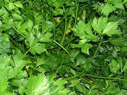 Persil, graines de persil plat feuilles vert foncé italien, Heirloom, organiques, non ogm, 100 graines, persil Graines