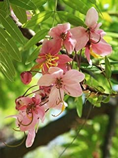 Organic Heirloom 200 Cassia Grandis Seeds Herb Medicine Coral Tree Senna Obtusifolia Seed of Sickle Senna Semen Cassiae Tea F103