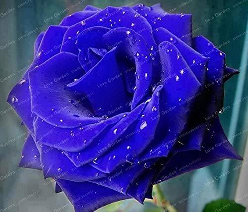 Pinkdose Rare Fleurs Rose plante bleue vivaces fleurs des plantes belle plante Bonsai bricolage jardin Plantes Fleurs 50 pièces: 9