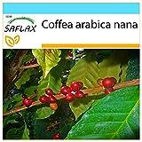 SAFLAX - Set regalo - Planta del café - 8 semillas - Con caja regalo/envío, etiqueta para envío, tarjeta de felicitación y sustrato de cultivo y fertilizante - Coffea arabica nana