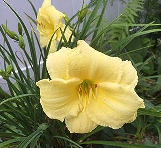 Yellow Stella D`oro Lily 1 Pcs Live an