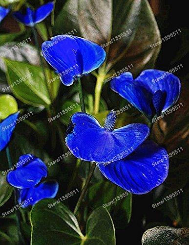 100 pcs Anthurium Graines rares graines de fleurs Balcon Plante en pot + rose graines comme cadeaux, Bonsai pour le bricolage jardin