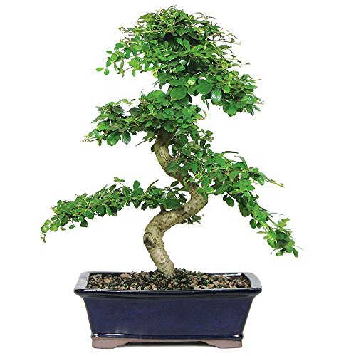 Brussel's Live Fukien Tea Indoor Bonsai Tree - 10 Years Old; 10' to 14' Tall with Decorative Container
