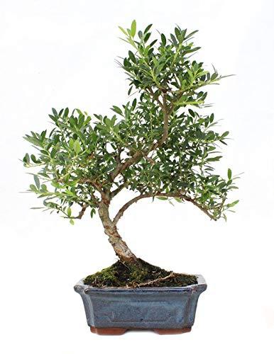 Bonsái Acebo de Japón de 9 Años Ilex Microphylla Árbol Japonés