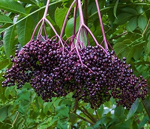 """Bob Gordon Elderberry Plant,Potted Plant, 6-10"""" Tall, Produces The Largest Berries of All Elderberries, Nice Addition to Your Garden, Unique Color"""