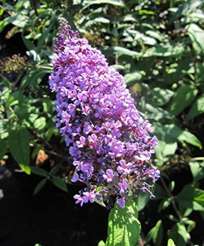 Schmetterlingsflieder Camberwell Beauty...