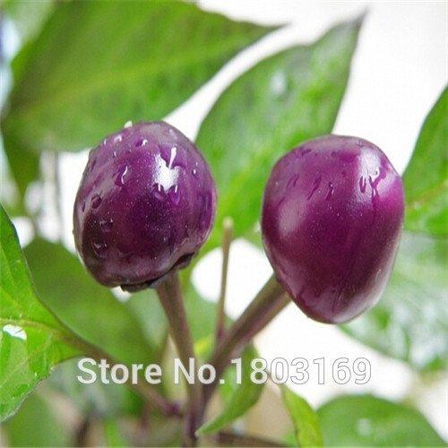 Semences de légume Habanero orange Piment des graines de la plante – 100 pc – extrêmement chaud .