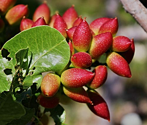 250 echte Pistazien Samen, Pistacia vera, Bio Saatgut, frosthart