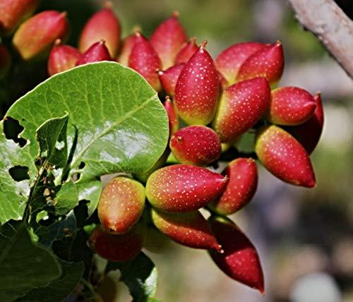 10 echte Pistazien Samen, Pistacia vera, Bio Saatgut, frosthart