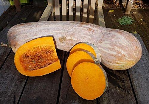 RWS 10 semillas de calabaza calabaza carruà Cano © o semil