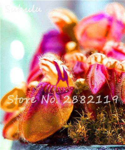 60 Pcs vivaces Nepenthes Seeds Carnivores Venus Fly Trap plus chaud du monde des plantes Graines Bonsai Garden Seed Color Mix Livraison gratuite 11