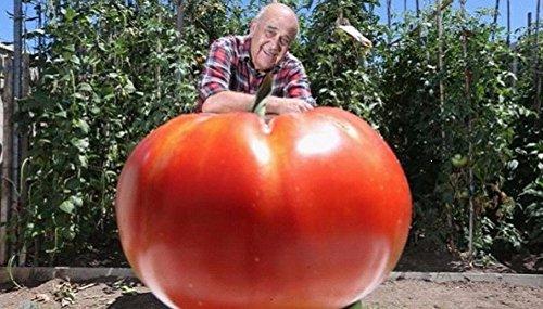 100 partículas Lot géant de semences de tomate Semis de légume en pot pour balcon Tomate facile à cultiver
