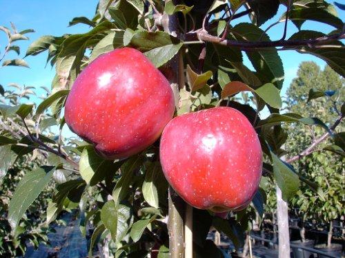 Gloster, Winter- Apfel, Apfelbaum, Busch, süßlich ca. 120-150 cm im 10 Liter Topf, MM 111