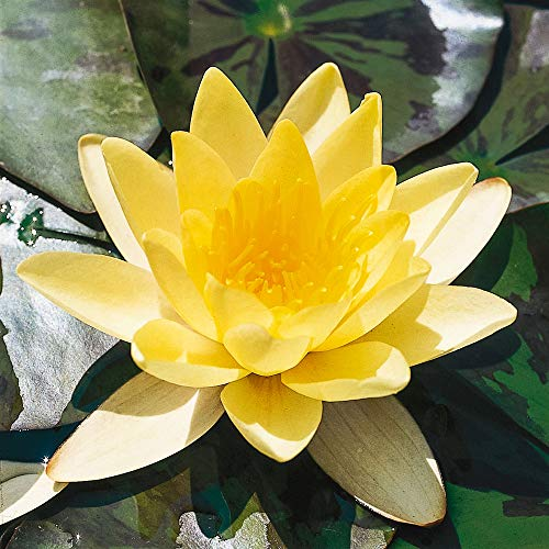 "Nymphaea""Marliacea Chromatella"" | Wasserlilie | Gelbe Blüte | Verhindert Algenwachstum | Höhe 30cm | Topf-Ø 9cm"