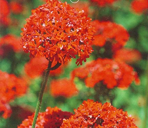 Silene Armeria Seeds 50+ Semillas de hierbas orgánicas fáciles de cultivar (Sweet William Catchfly) Flores silvestres para el jardín de los bonsais Plantación en interiores y exteriores: Amazon.es: Jardín