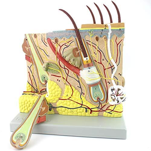 ADELALILI-人体模型 美容形成外科ステレオ肌のためのスキンモデル解剖の皮膚構造拡大PVC医療教育ツール