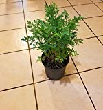 1 Live XL Common rue or Ruta or ruda Plant herb-of-Grace, or Ruta graveolens
