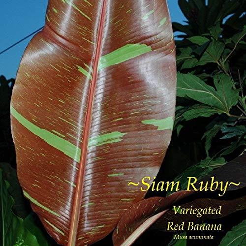 ~SIAM Ruby~ Red Banana Musa Pisang Ornamental Live Sml Potted Banana Plant